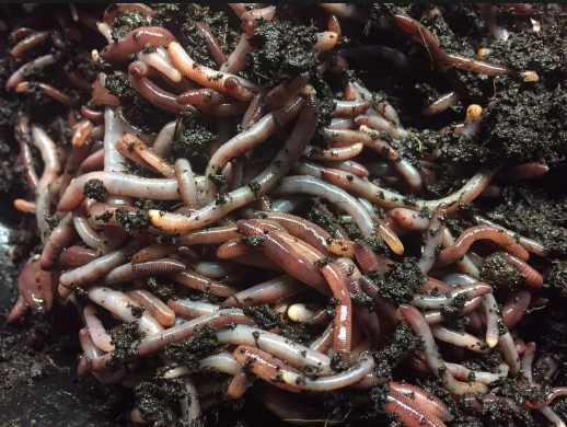 Information About Worms For Sale