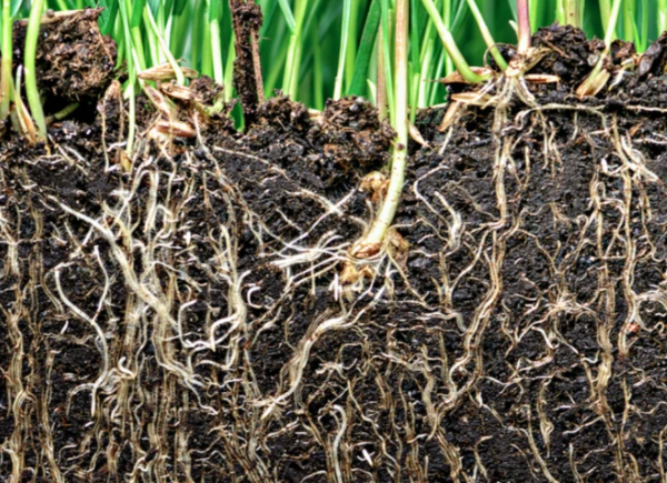 Mycorrhizal Fungi As A Source Of Bringing Nutrients To Your Plants