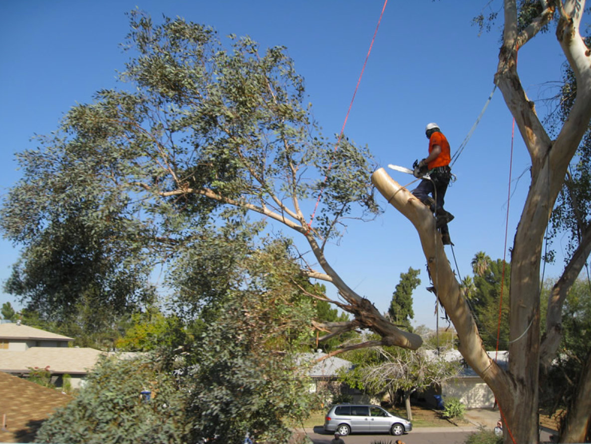 gold coast council tree removal
